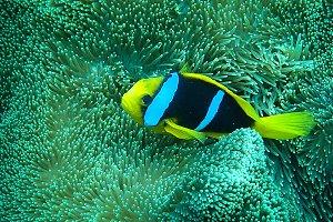Clown Fish 1