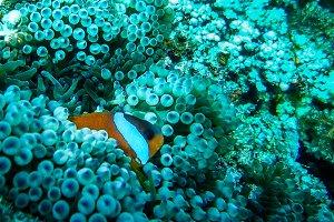 Clown Fish 2