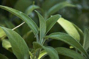 Salvia leaf