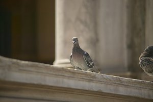 portrait of a pigeon in piazza san m