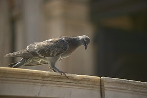 Portrait of a pigeon in Venice