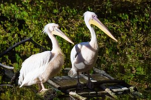 Pelicans in the pond