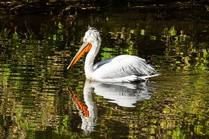 Pelican swims in the pond