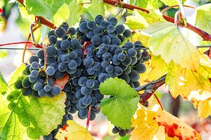 Red grapes green leaves vine Autumn