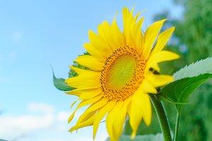 Sunflowers garden. Sunflowers have