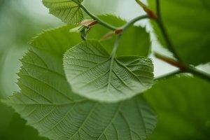 close-up shot of green linden leaves