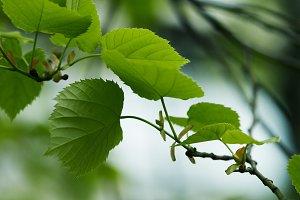 close-up shot of green tilia leaves