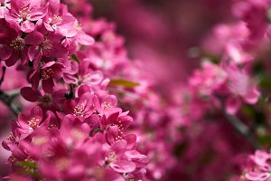 close-up shot of pink cherry flowers