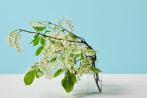 branches of white bird cherry blosso