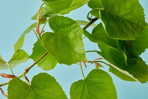 close-up shot of green linden branch