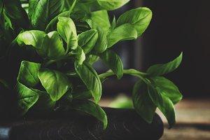 Fresh green basil, spice herb, selec