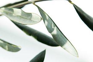closeup shot of leaves of olive bran