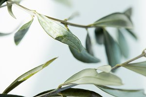 close up view of leaves of olive bra