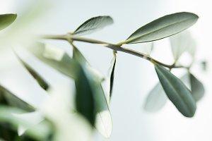 close up shot of leaves of olive bra
