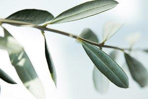 closeup image of leaves of olive bra