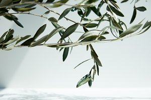 close up view of olive branches in f