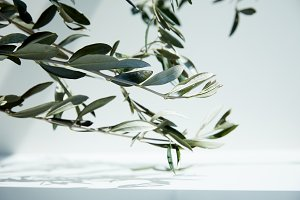 close up view of olive branches over