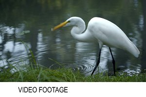 Great Egret standing in the water