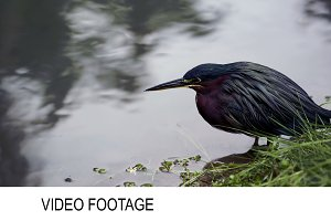 Green Heron standing still in water