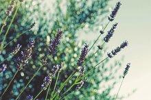 iseeyouphoto lavenderbokeh.jpg