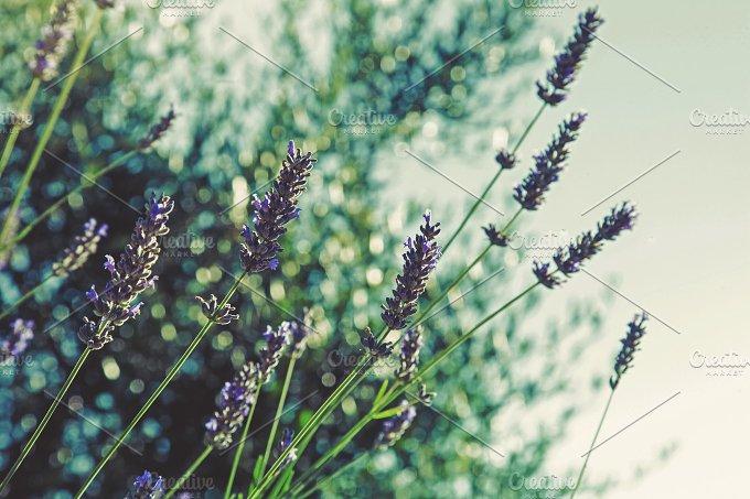 iseeyouphoto lavenderbokeh.jpg - Nature