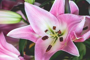 Large pink lily
