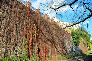 Old city wall covered with ivy