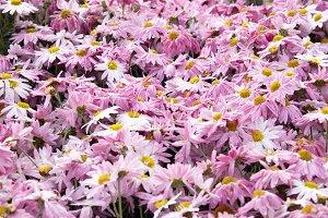 Field of pink chrysanthemums