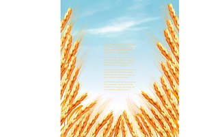 Ears of wheat background. Vector