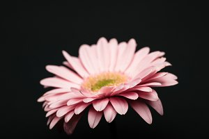 beautiful pink gerbera isolated on b