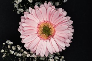 pink gerbera with small white flower
