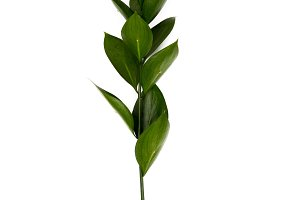 twig with green leaves isolated on w