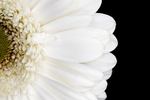 top view of half of white gerbera is