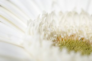 close up view of white gerbera petal