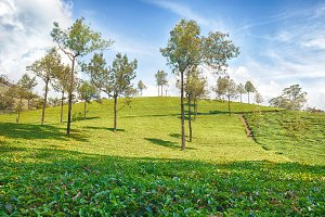 Asian tea plantations