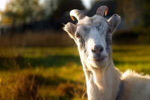 Surprised goat face. Sunny day