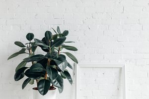 ficus plant with empty frame in fron
