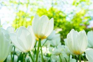 Tulips garden flowerbed