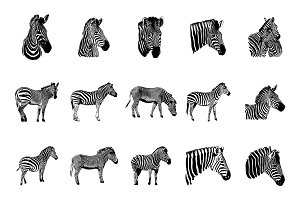 Zebra vector graphic illustration on