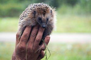 Human hand holding a live hedgehog