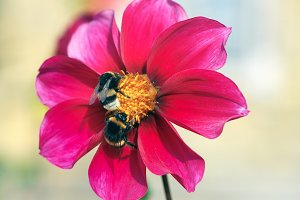 Bees pollinate a beautiful flower of