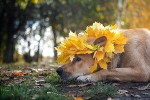 Big dog in autumn wreath of maple