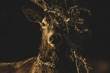 red deer by  in Animals