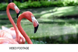 Graceful American flamingos standing