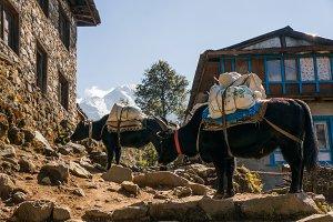 Yaks carry cargo