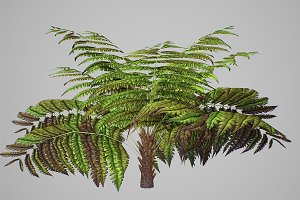 Alsophila Fern average LOW