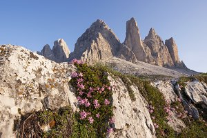 Mountain flowers in Dolomites