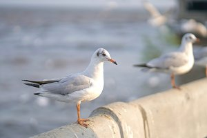 Seagull standing on Rail Bridge