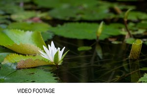 Timelapse of water lily blooming