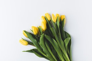 beautiful blooming yellow tulips iso